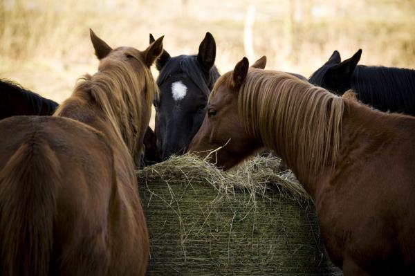 Horses eating hay_3723