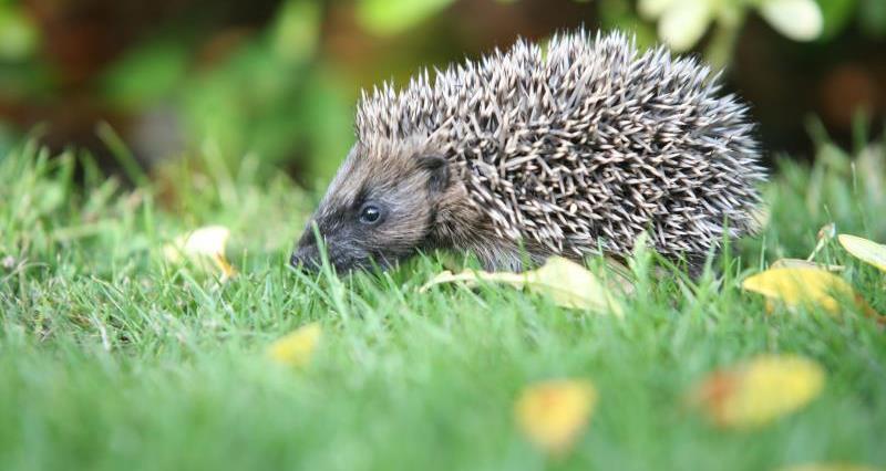 Hedgehog by Steve Heliczer_18716