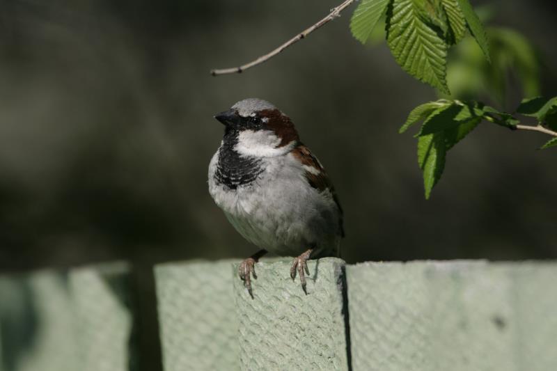 House sparrow on the fence_51142