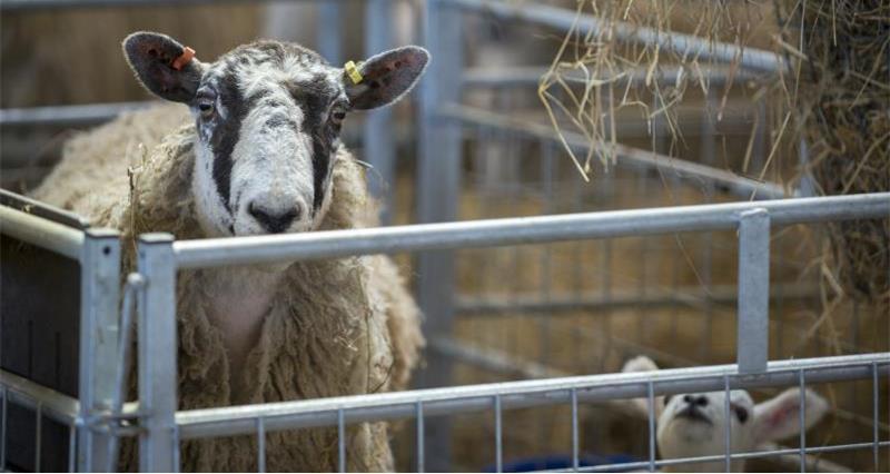 Lambs and Ewe Moreton Morrell College April 18_53043