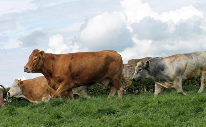 Beef cattle on the move_42604