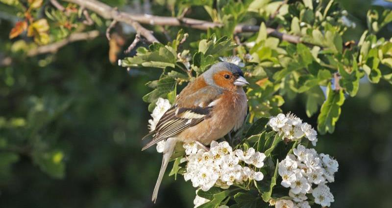 Chaffinch sat in a tree_51105