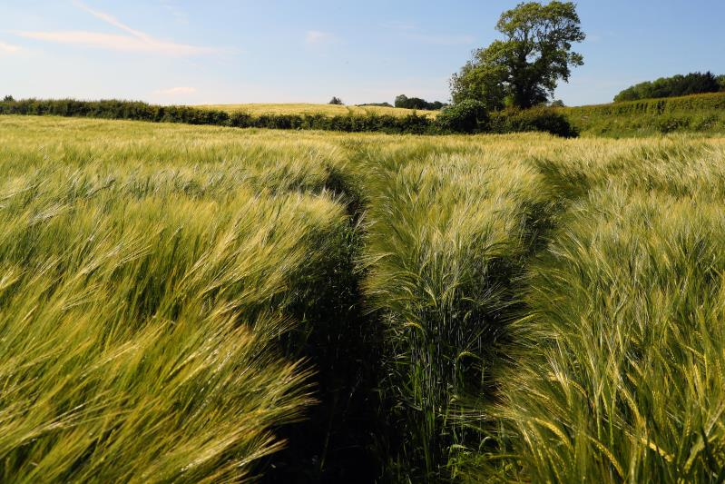 Barley field Herefordshire_44285