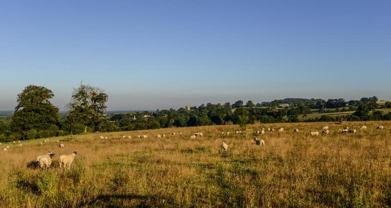 Farming scene livestock sheep_47849