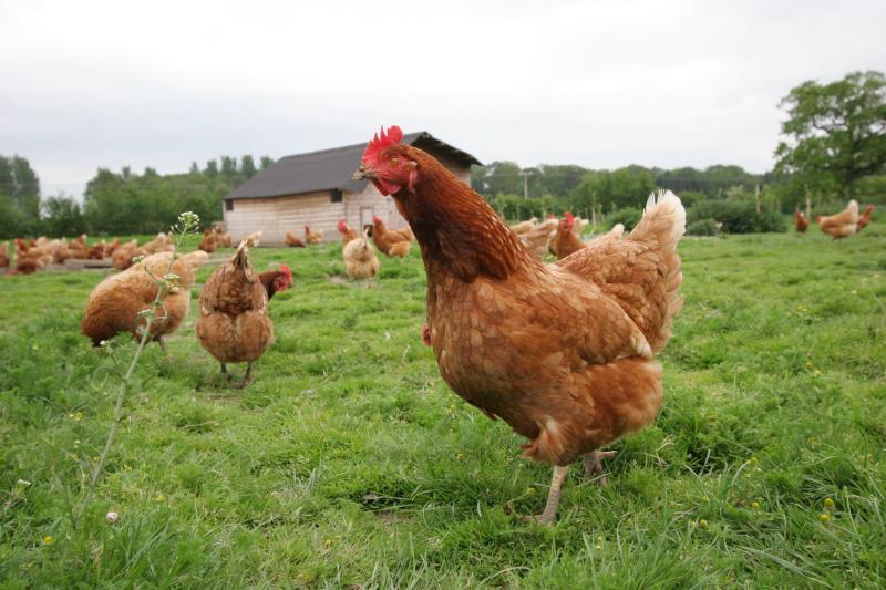 Chickens in field_42585