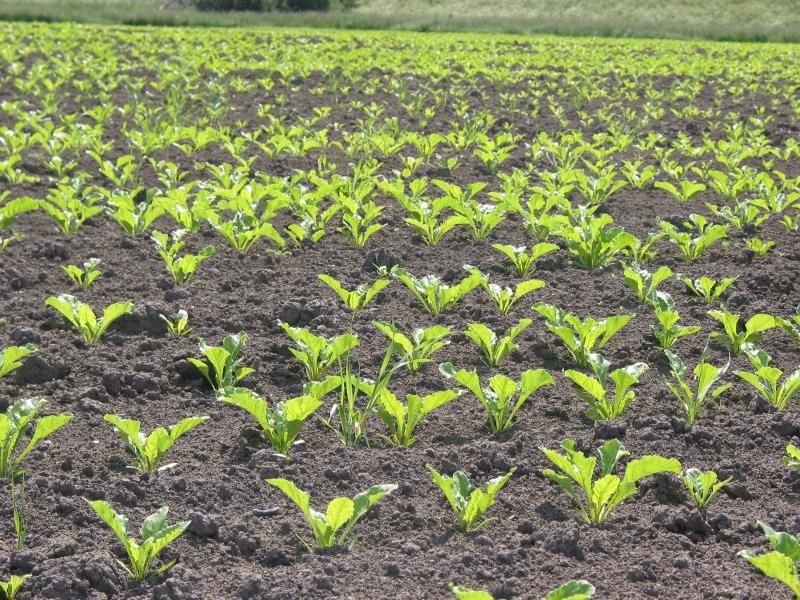 Sugar beet coming through_42273