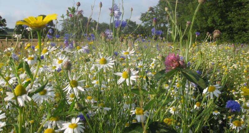 Field margins supporting pollinators_51298