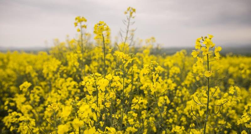 OSR growers asked to 'change one thing' to protect water