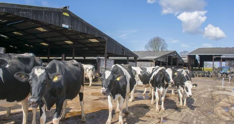 Dairy cows_52950