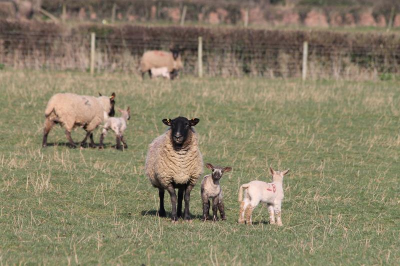 Ewe and lambs in Herefordshire_42590