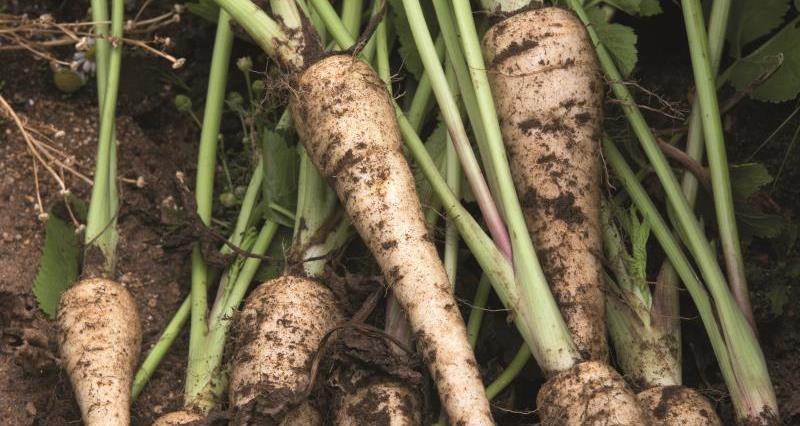 Meet the grower - parsnips