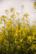 Oilseed rape_35759