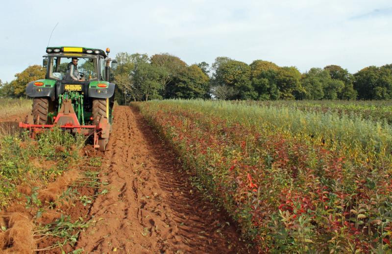 Harvesting spindleberry, Wyevale Nurseries_42418
