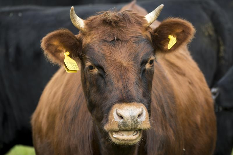 Beef cattle, Somerset_42930