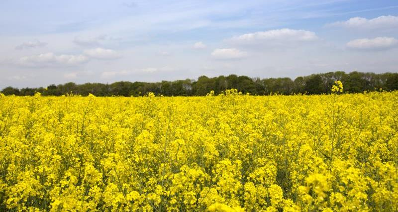 Oilseed rape field James Cox_56165
