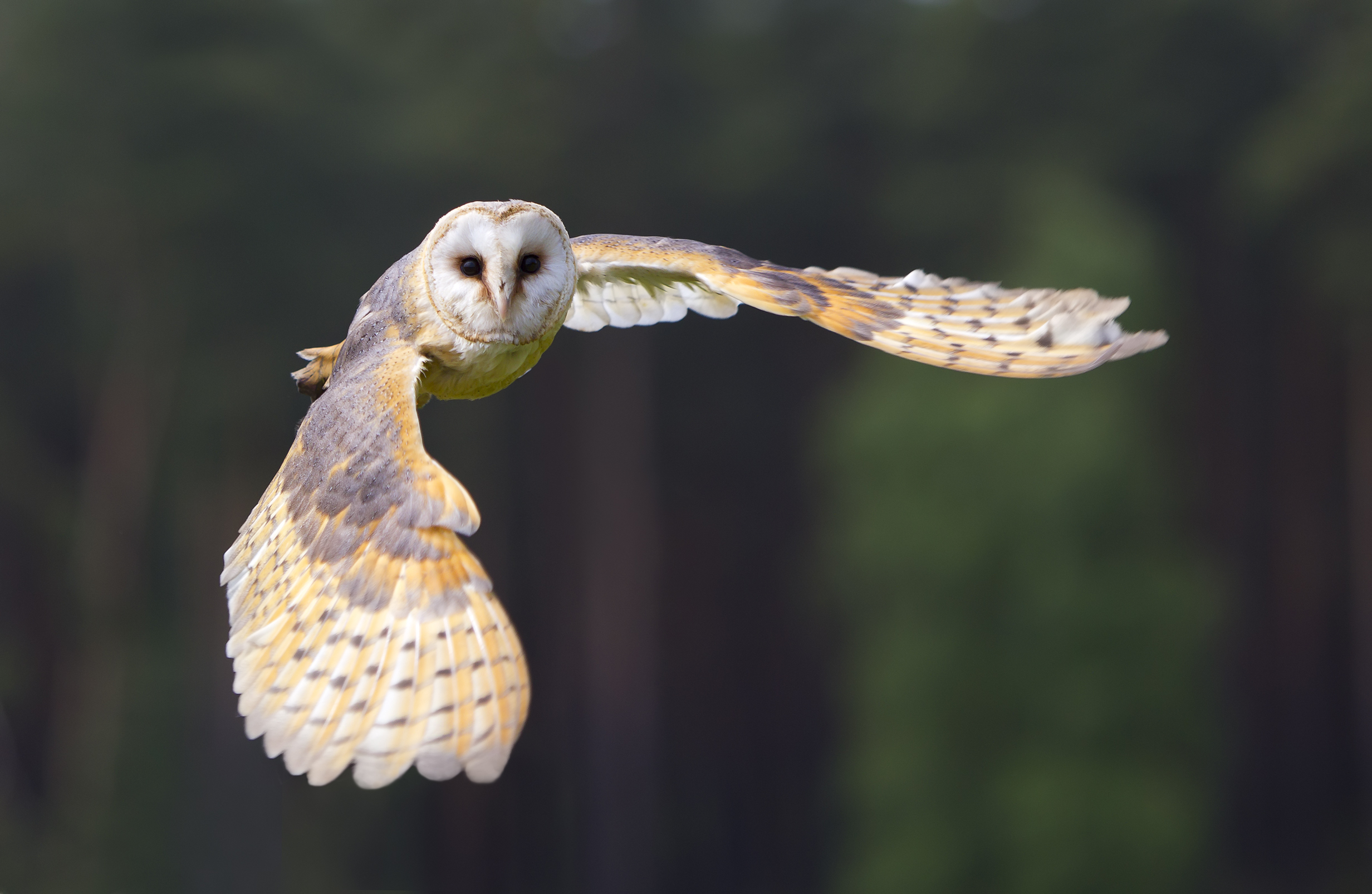 New CRRU study shows UK barn owl breeding