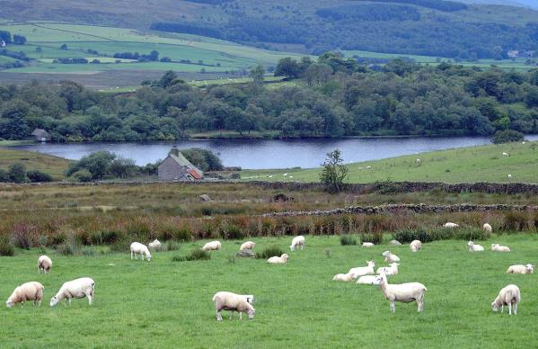 sheep landscape_30448