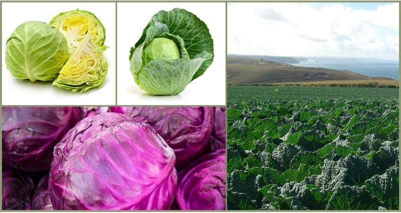 Get to know the British cabbage