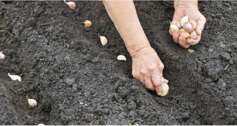 Planting bulbs_58482