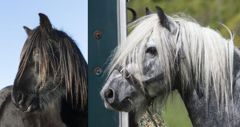Fell ponies_54503