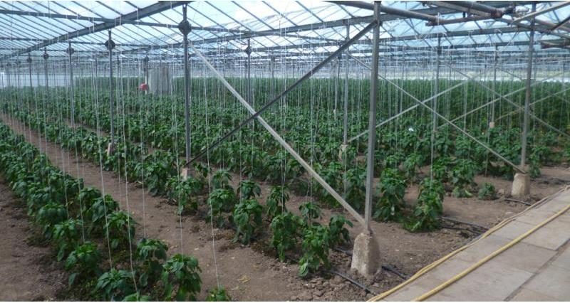 TOMATOES IN A TWO ACRE GLASSHOUSE AT KIRKHAM PRISO
