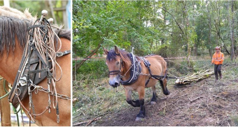 heavy horses - horse logging_58281