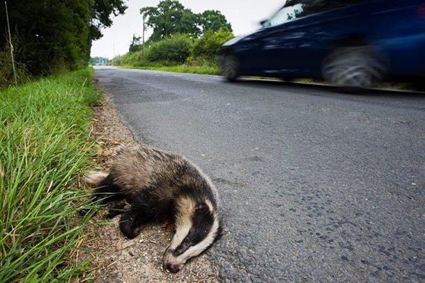 Road kill flat badger_41582