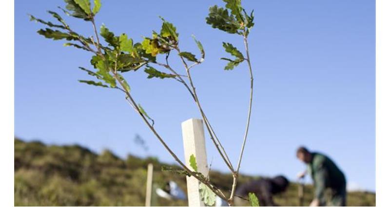 Planting saplings_25155