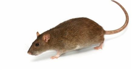 Future of rodenticides 'in farmers' hands'