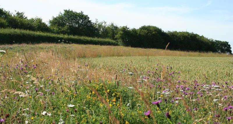 Pollen and nectar margin, Nottinghamshire_20065