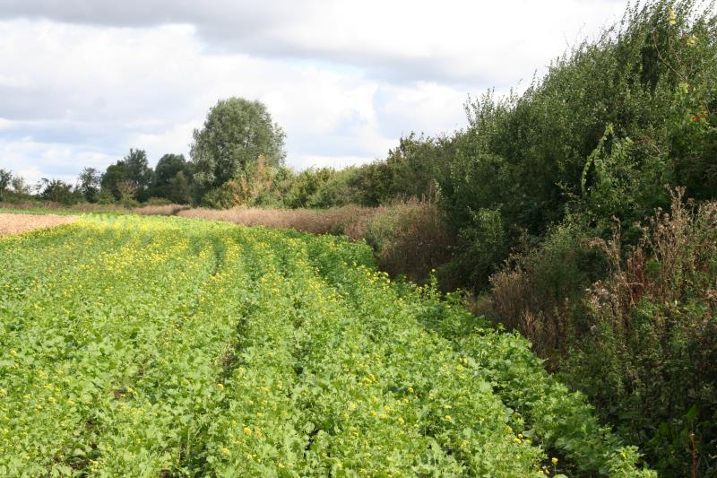 Andrew Pitts hedgerow, Northants with OSR crop_24413