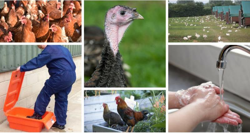 Biosecurity and poultry_55807