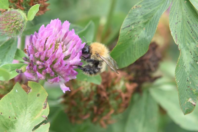 Carder Bee on Clover_45171