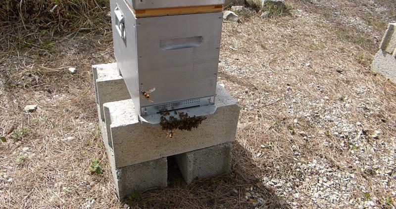 asian hornet hawking bee hive_45651