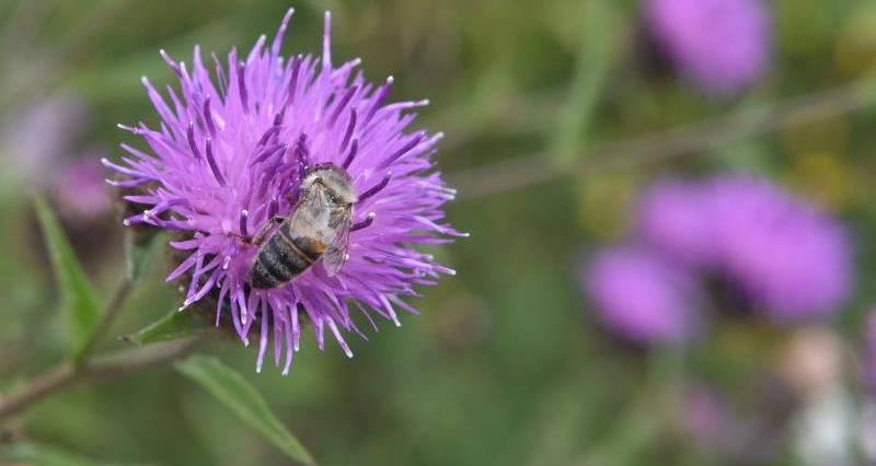 Bees' Needs Week: Pollinator habitats can be good for farm productivity