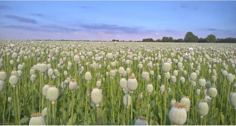 NFU helps protect UK poppy production