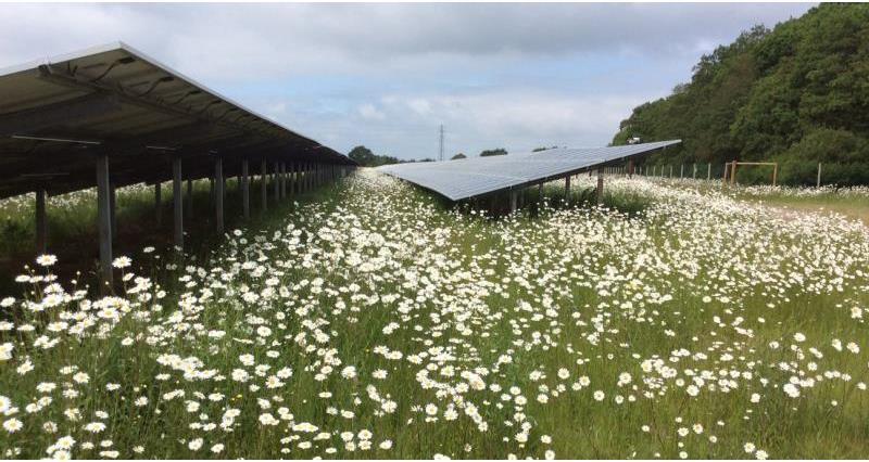 solar panels daisies guy smith farm essex june 2018_55143