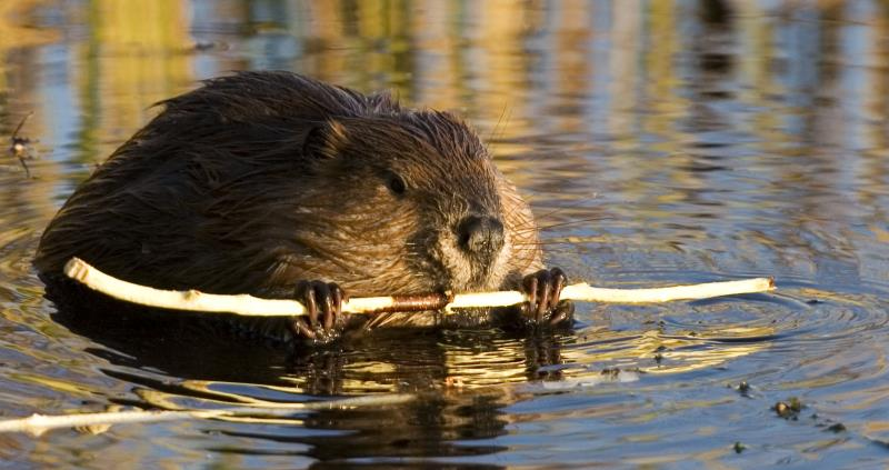 beaver with stick web crop_49599