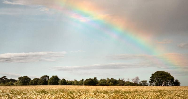 wheat field with trees and rainbow web crop_55112