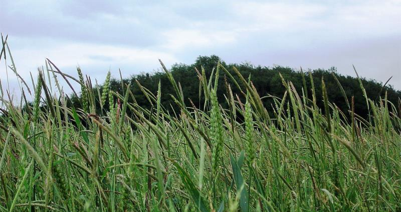 black grass web crop_48023
