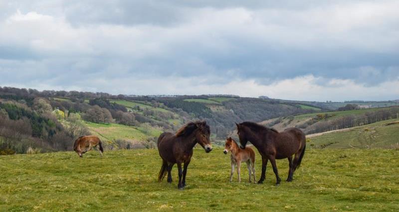 Exmoor ponies_52538