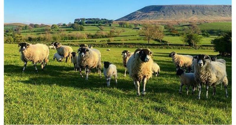 Sheep_54230