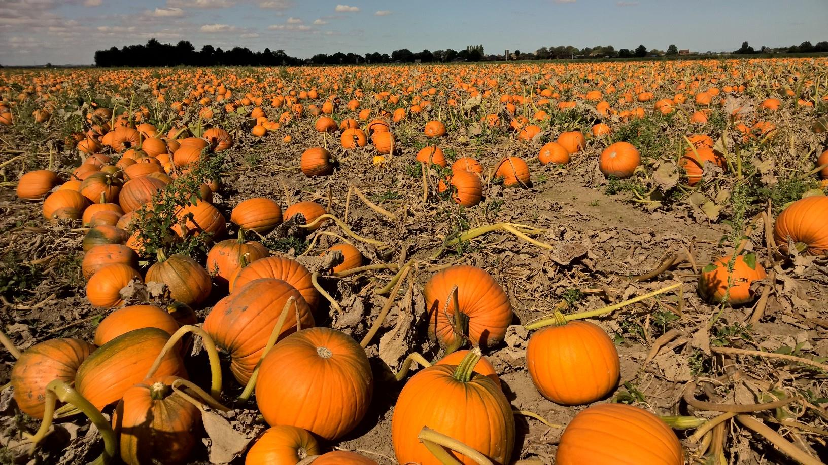 Meet the pumpkin farmers