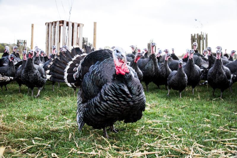 Lydiard Turkey 15_50710