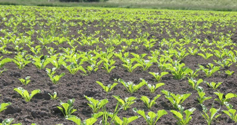 Sugar beet growers refund (online)_57475