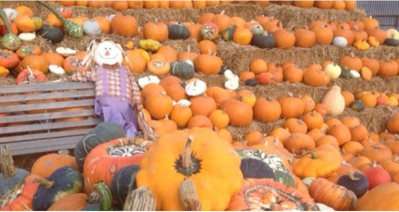 Pumpkin producers across the region get set for a busy season