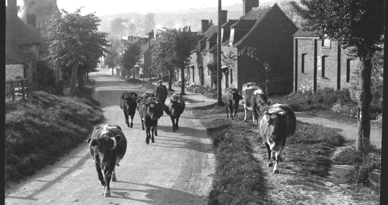 Cows and farmer walking along a road c1920s-1930s