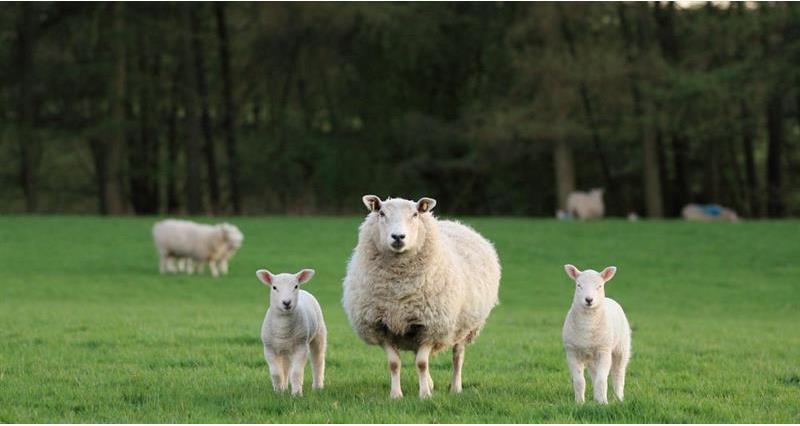 Get to know our British sheep farmers