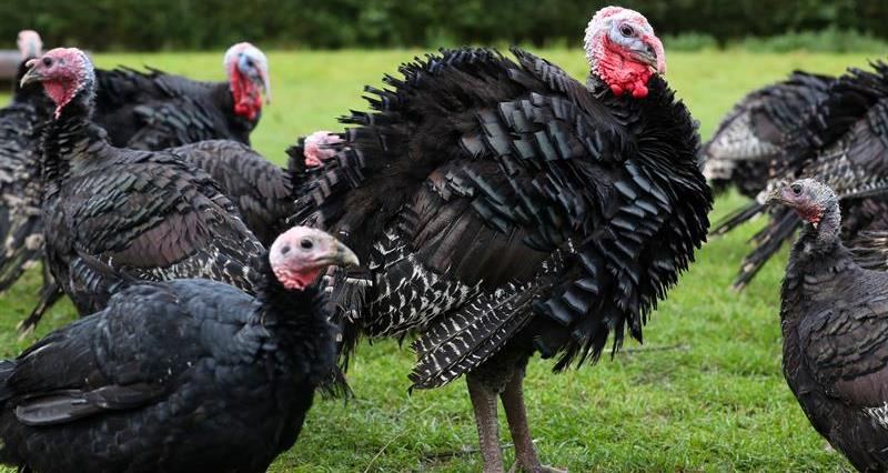 What makes British turkeys the best in the world?