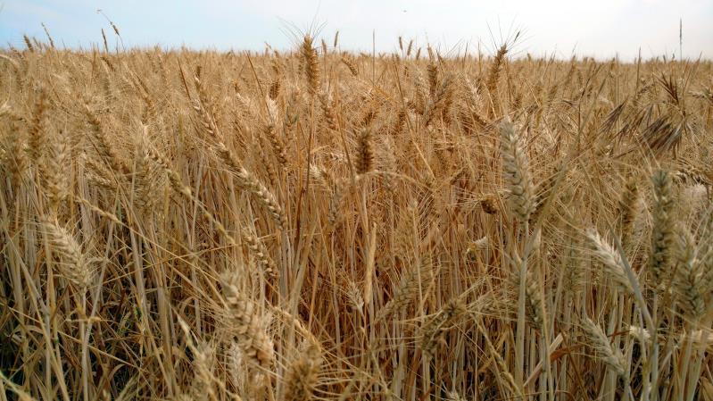 Field of wheat _55815